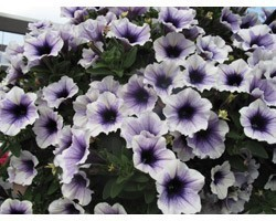 Pianta di Petunia Sweetunia Purple Spotlight (Vaso 14 cm)