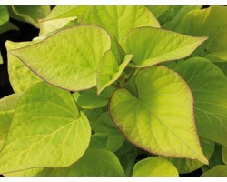 Pianta di Ipomoea Batatas Sweet Caroline Heart Light Green