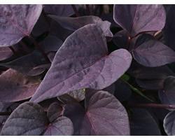 Pianta di Ipomoea Sweet Heart Purple (vaso 14 cm)