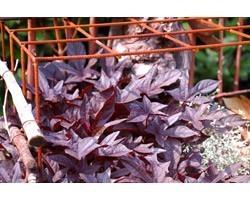 Pianta di Ipomoea Sweet Caroline Black (vaso 14 cm)