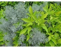 Pianta di Ipomoea Sweet Caroline light green (vaso 14 cm)