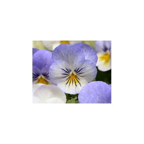 Pianta di Viola a fiore grande Inspire Plus Beaconsfield