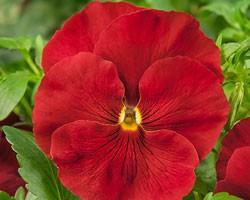 Pianta di Viola a fiore grande Cello Scarlet