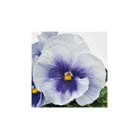 Pianta di Viola a fiore grande Inspire Plus Metallic blue botch
