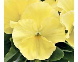 Pianta di Viola a fiore grande Inspire Plus Lemon