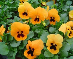 Pianta di Viola a fiore grande Cello Deep orange blotch