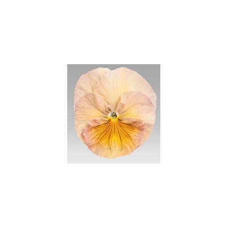 Pianta di Viola a fiore grande Inspire Peach shades