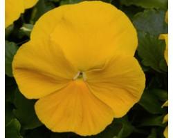Pianta di Viola a fiore grande Inspire Plus Yellow