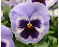 Pianta di Viola a fiore grande Inspire Plus Marina