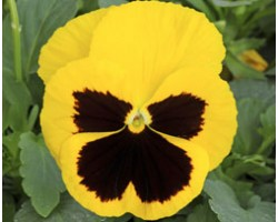 Pianta di Viola a fiore grande Inspire Plus Yellow blotch