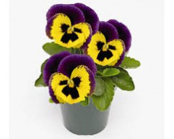 Pianta di Viola a fiore grande Inspire Plus Yellow purple wing