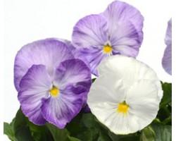 Pianta di Viola a fiore grande Matrix Lavender shades