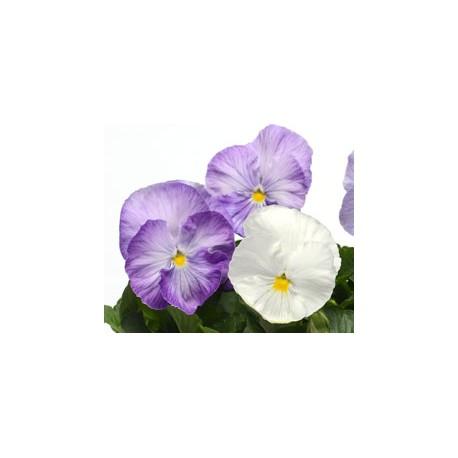 Pianta Di Viola A Fiore Grande Matrix Lavender Shades Società