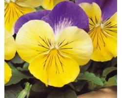 Pianta di Viola a fiore grande Matrix Morpheus