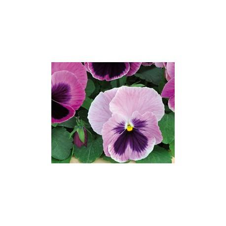 Pianta di Viola a fiore grande Matrix Pink shades