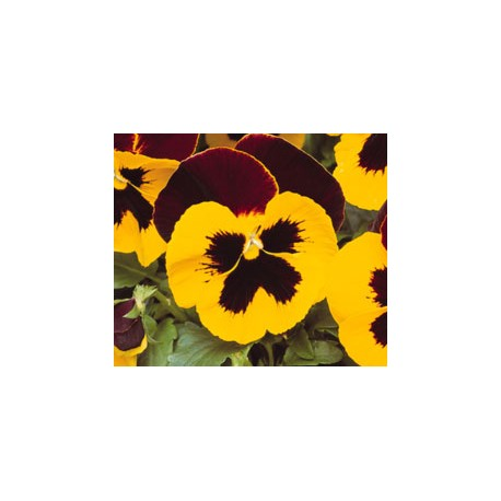 Pianta di Viola a fiore grande Matrix Red wing