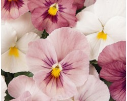 Pianta di Viola a fiore grande Panola Pink shades