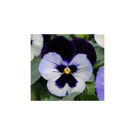 Pianta di Viola a fiore grande Promise Moonlight
