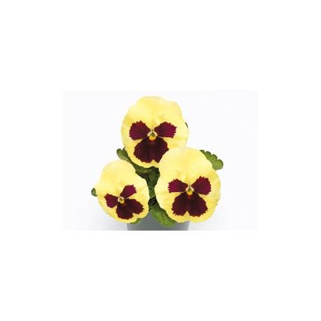 Pianta di Viola a fiore grande Inspire Plus Lemon blotch