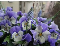 Pianta di Viola a fiore grande Promise Blue white whiskers