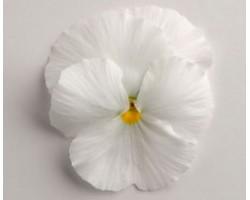 Pianta di Viola a fiore grande Inspire Plus White