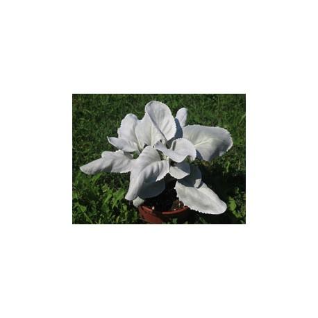 Pianta di Viola a fiore grande Inspire Plus Metallic blue botch