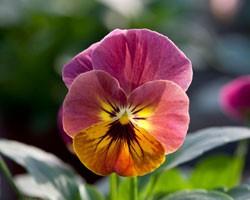 Pianta di Viola a fiore piccolo Bel Viso Pineapple crush