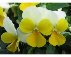 Pianta di Viola a fiore piccolo Bel Viso YTT