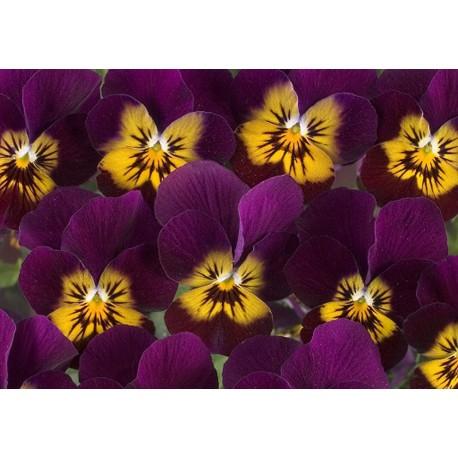 Pianta di Viola a fiore piccolo Floral Power Lavender pinl