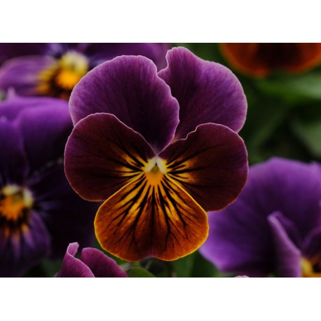 Pianta di Viola a fiore piccolo Floral Power Purple tiger eye