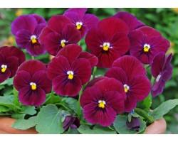 Pianta di Viola a fiore piccolo Sorbet CArmine rose