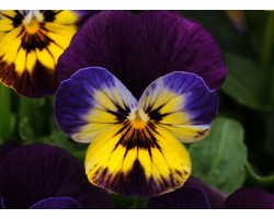 Pianta di Viola a fiore piccolo Sorbet Fire