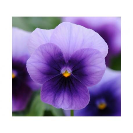 Pianta di Viola a fiore piccolo Sorbet Midnight glow