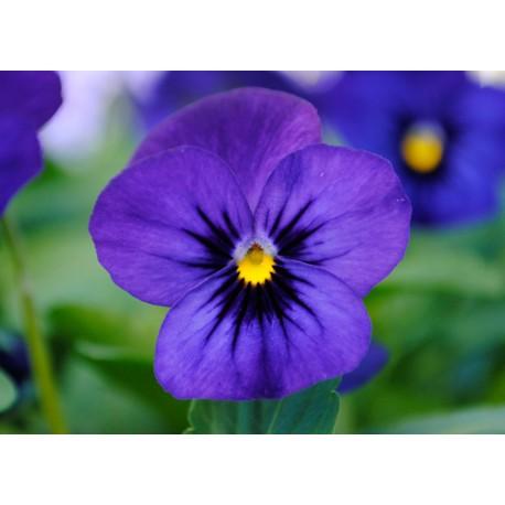 Pianta di Viola a fiore piccolo Sorbet XP Blue blotch
