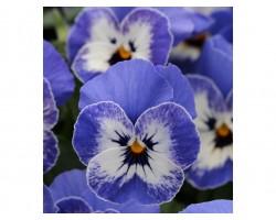 Pianta di Viola a fiore piccolo Sorbet XP Coconut swirl