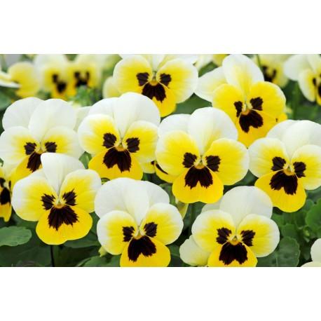 Pianta di Viola a fiore piccolo Sorbet XP Lemon ice blotch