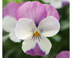 Pianta di Viola a fiore piccolo Sorbet XP Morpho