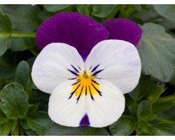 Pianta di Viola a fiore piccolo Sorbet XP White jump up