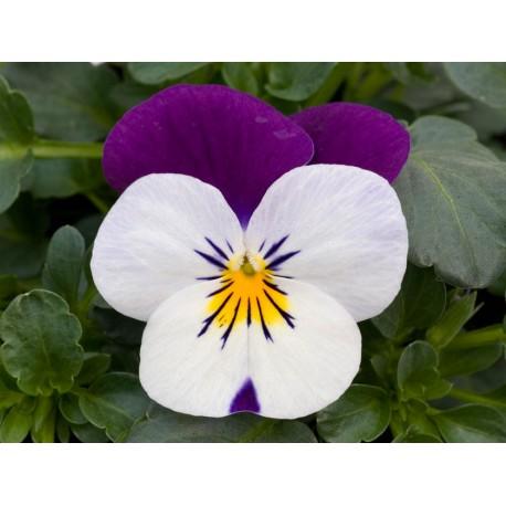 Pianta di Viola a fiore piccolo Sorbet XP White jump up