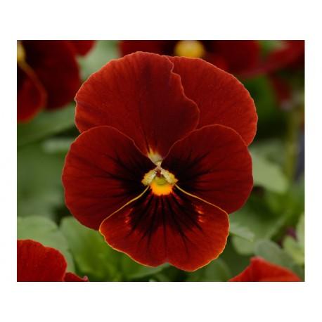 Pianta di Viola a fiore piccolo Sorbet XP Raspberry