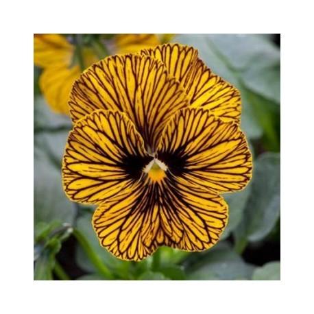 Pianta di Viola a fiore piccolo Sorbet XP Red blotch