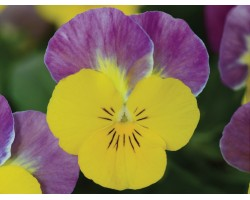 Pianta di Viola a fiore piccolo Sorbet XP Yellow pink jump up