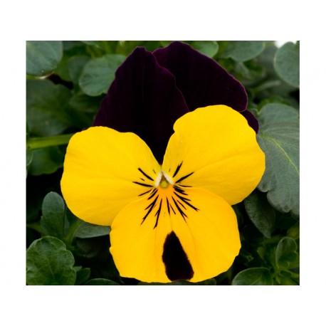 Pianta di Viola a fiore piccolo Tiger eye Yellow impr.