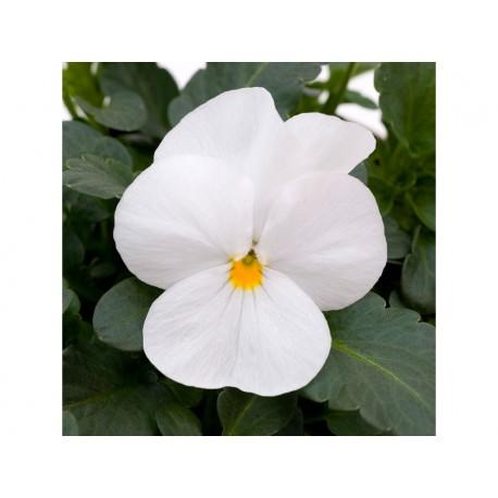 Pianta di Viola a fiore piccolo Sorbet XP Yellow blotch imp.