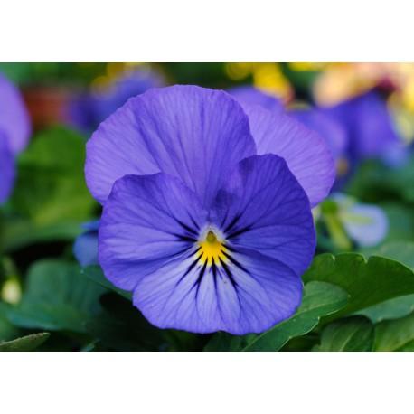 Pianta di Viola a fiore piccolo Sorbet XP Violet beacon