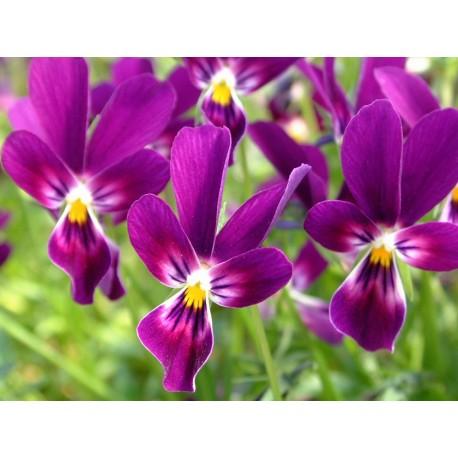 Pianta di Viola a fiore piccolo Sorbet XP True blue