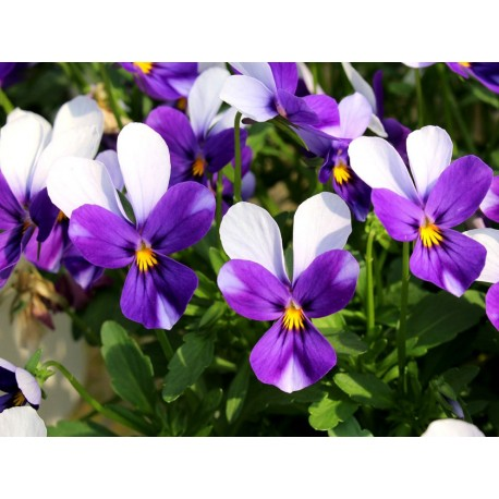 """Pianta di Viola a fiore piccolo La collina dei conigli """"Wild Rabbit Violetta"""""""