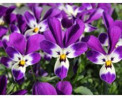 """Pianta di Viola a fiore piccolo La collina dei conigli """"Wild Rabbit Quintilio"""""""