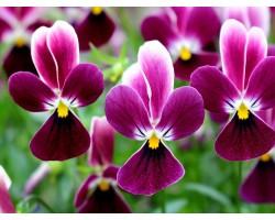"""Pianta di Viola a fiore piccolo La collina dei conigli """"Wild Rabbit Nicchio"""""""