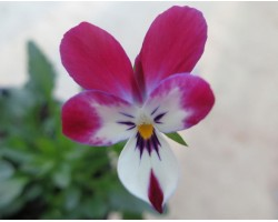 """Pianta di Viola a fiore piccolo La collina dei conigli """"Wild Rabbit Mirtillo"""""""